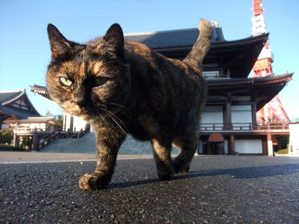 増上寺の猫親分