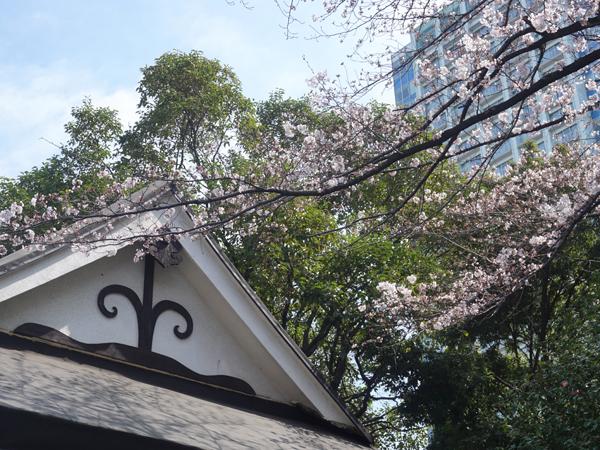 宝珠院の桜
