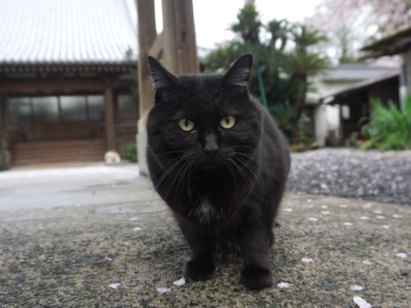 お出迎えの猫