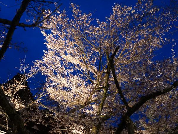 覚林坊の桜ライトアップ