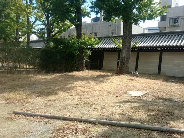 東本願寺の除草ヤギ(アフター)