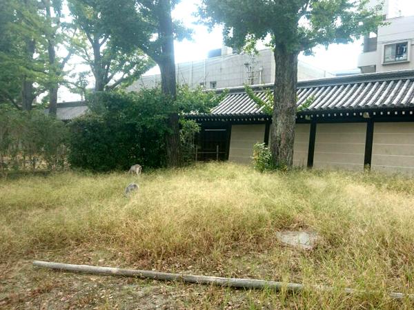 東本願寺の除草ヤギ(ビフォー)